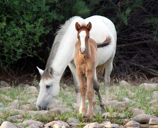 Image source: Salt River Wild Horse Management Group / Facebook