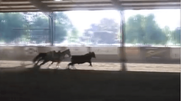 Horse Wows The Crowd As She Works A Cow–Without A Rider On Her Saddle!!