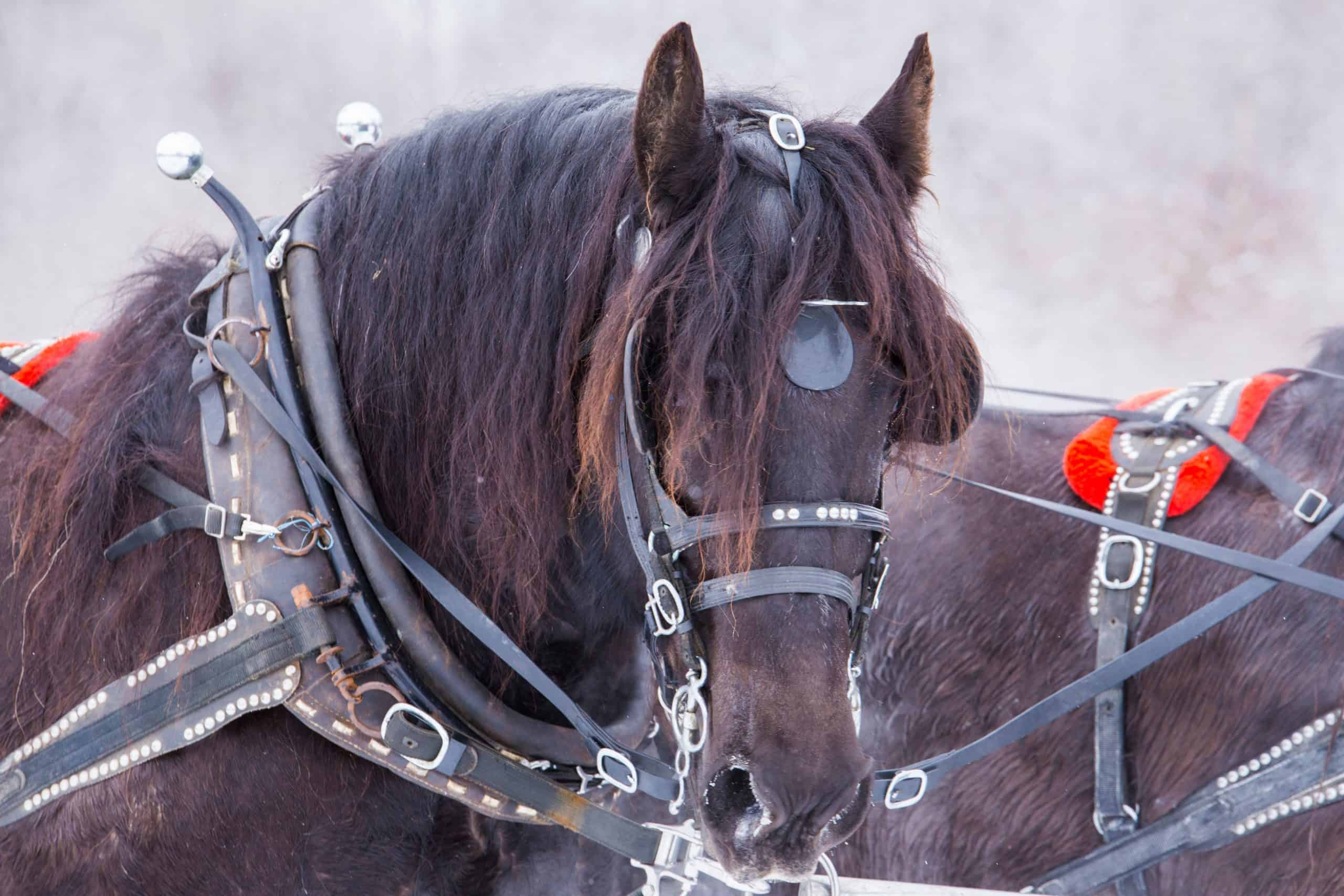 5 Clydesdale Horse Facts You Might Not Have Known