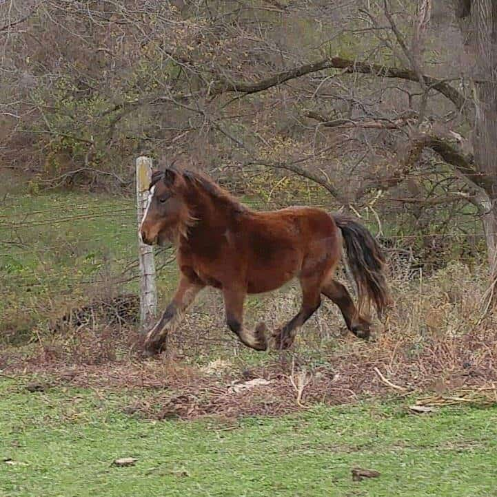 Bellbotoom July Sparkler (Sparky), son of Wyatt, purebred Gypsy Cob and AMHR (miniature horse) mare – he is 35 inces. Image source: Melanie Block