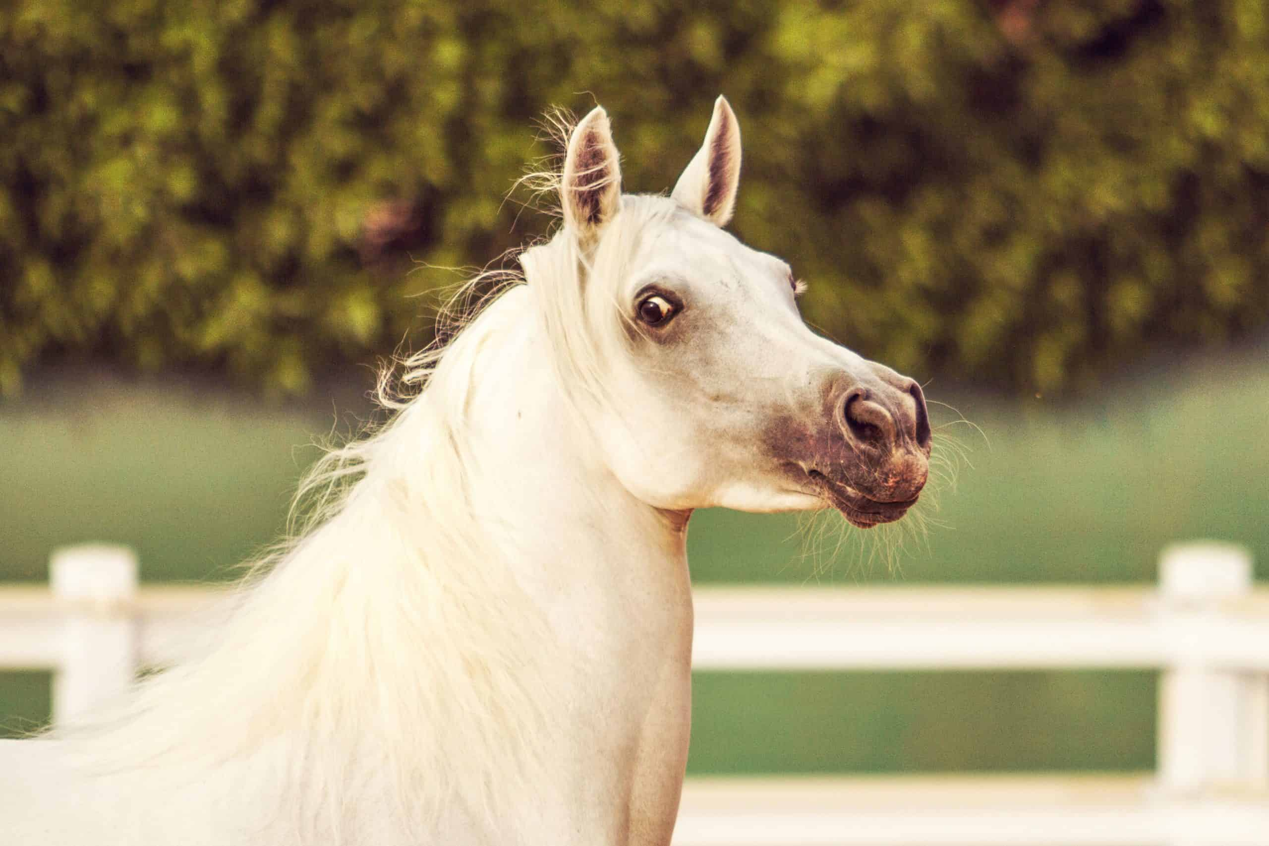 8 Things You May Not Have Known About Arabian Horses