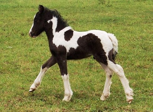 Bellbottom Tuppenny . Now 10hh. Image source: Melanie Block