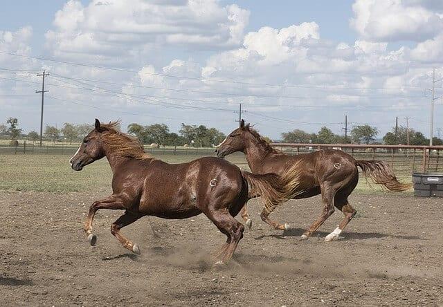 qh2 horses-754725_640