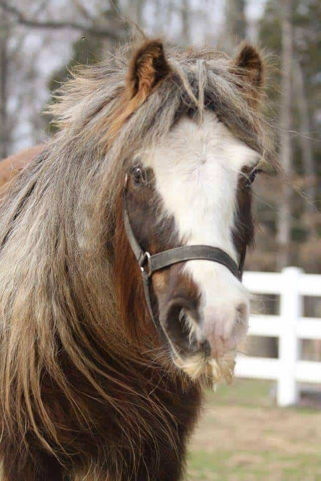 Miss Gucci of Lexin by Steffanie Christensen. Mini Gypsy Mare from MHB Gypsy Ponies. Christensen is known for her efforts to breed 100 percent pure miniature Gypsies.