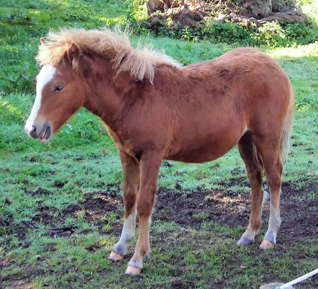 A Kerry Bog Pony that some say is the same as an Irish Hobby. Image Source:  Jim Linwood - wikimedia