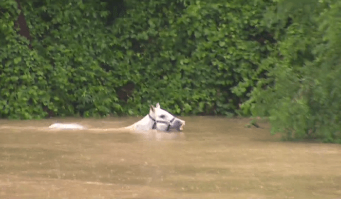 Breaking News Nearly 100 Horses Rescued From Texas Floods