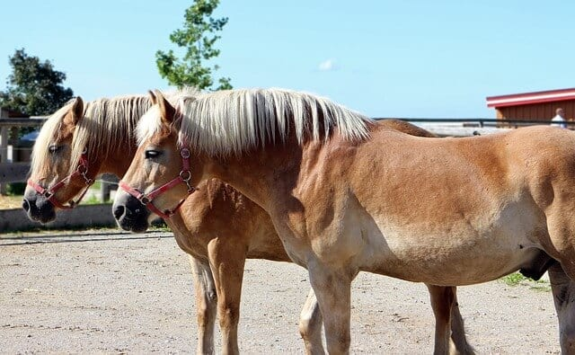 http://www.haflinger.ca/the-haflinger-breed/haflinger-breed-en/