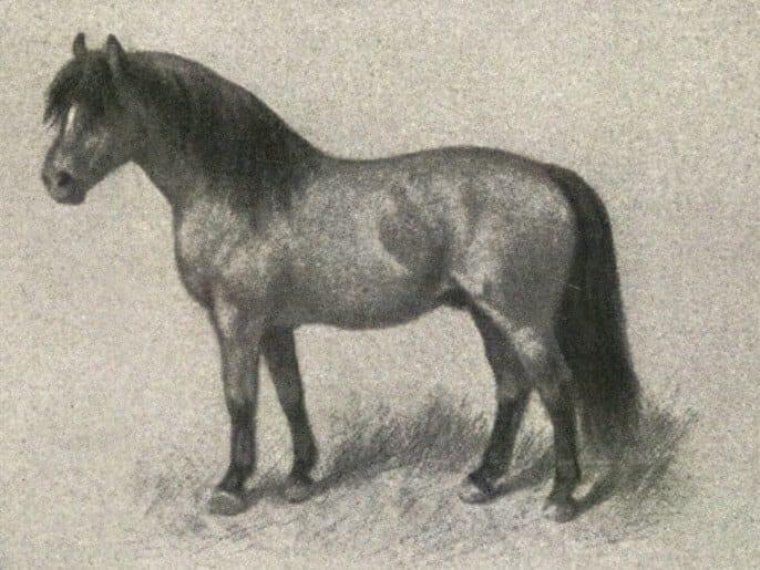 s1 Shetland_pony_1
