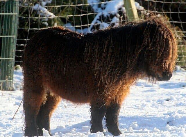 s3 shetland-pony-811083_640