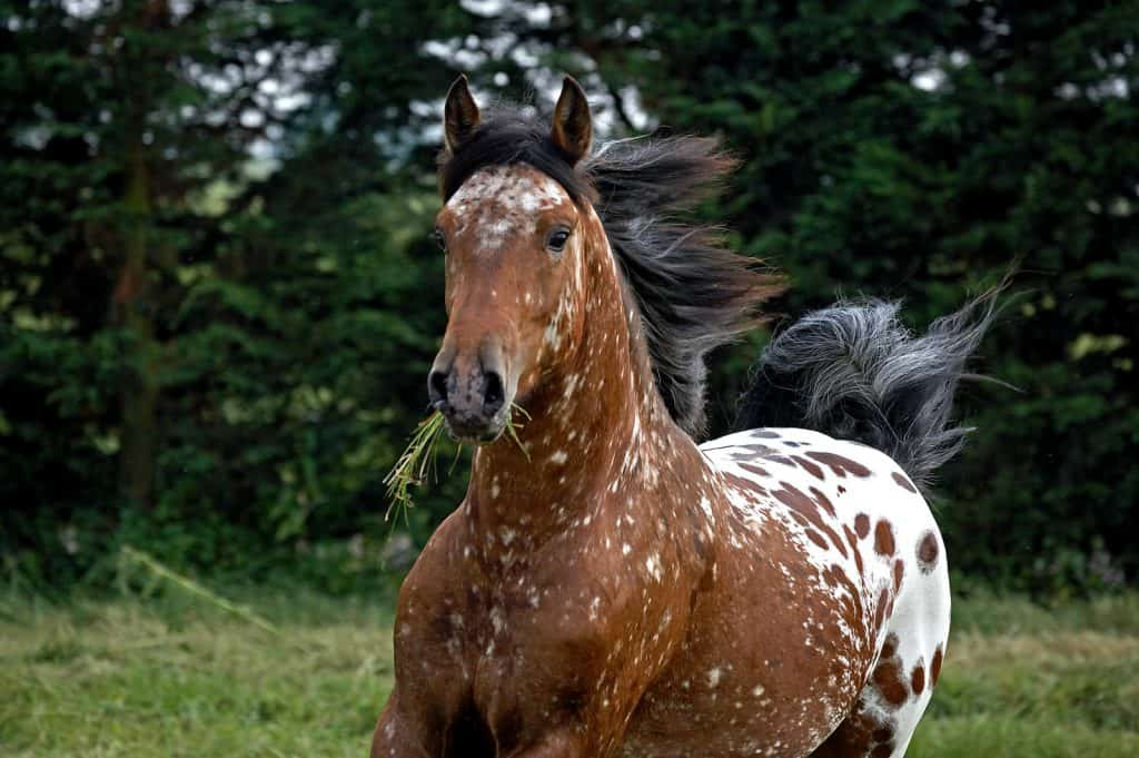 A Guide To Understanding Appaloosa Horse Coat Genetics