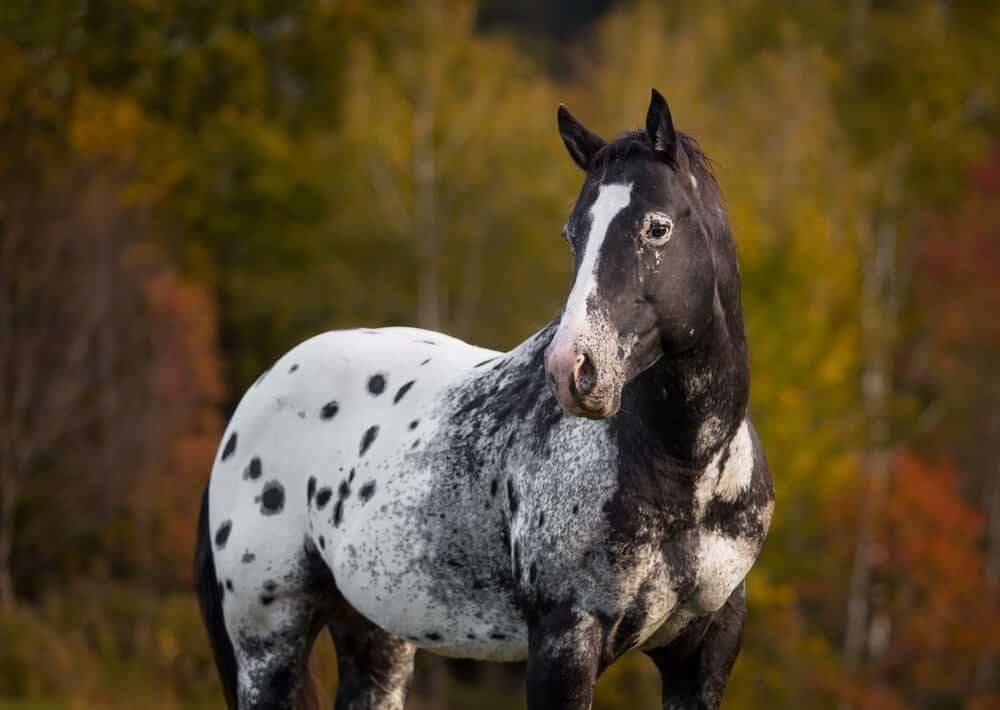 Dark blue roan horse