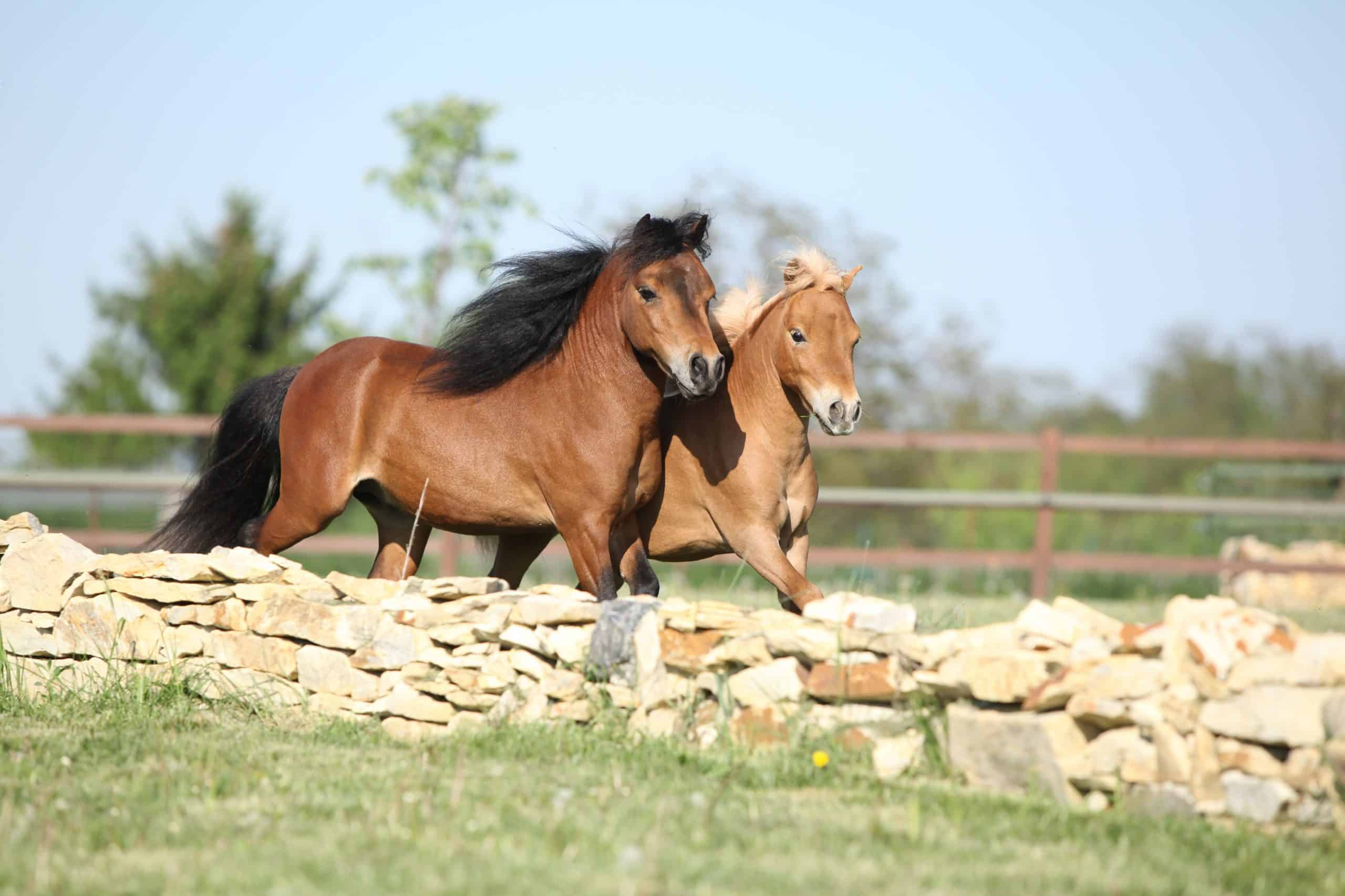 5 Things To Consider Before You Buy A Mini Horse