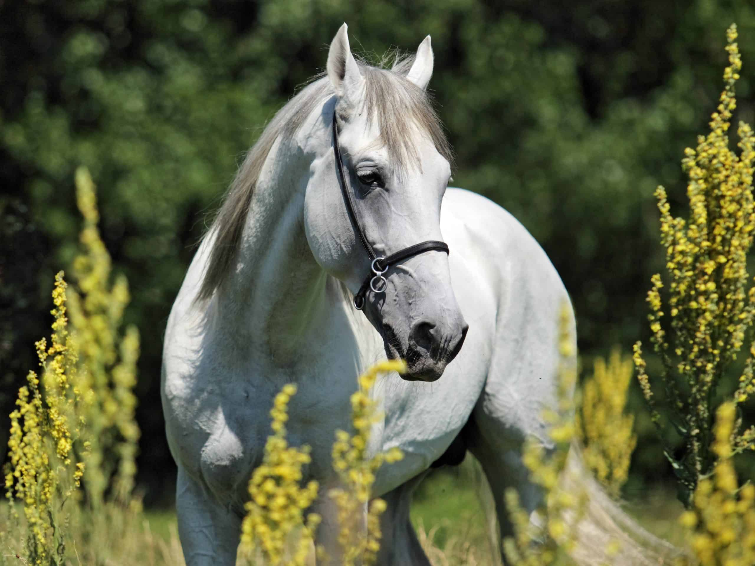 Andalusian Horse Facts You Might Not Have Known