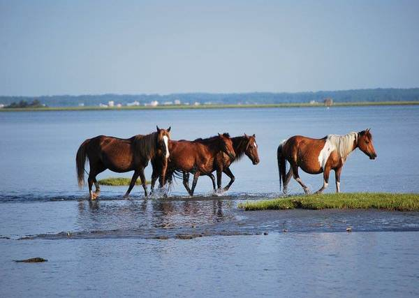 Chincoteague Island Pony Swim