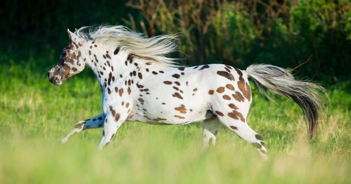 8 Fascinating Facts About The Appaloosa