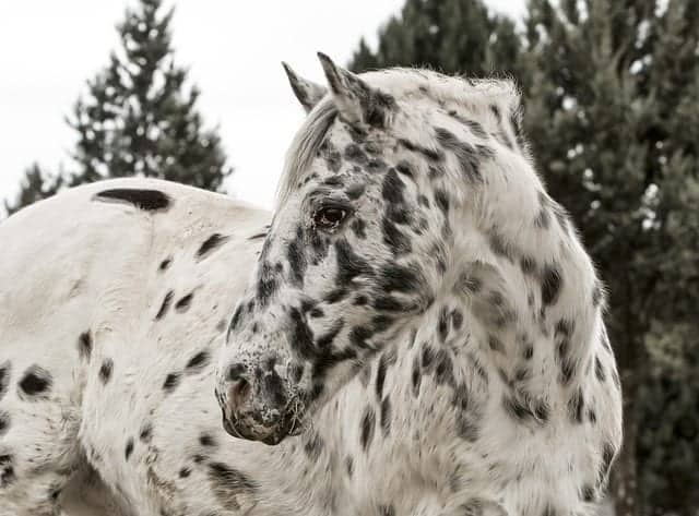 8 things you didn t know about the appaloosa ihearthorses com