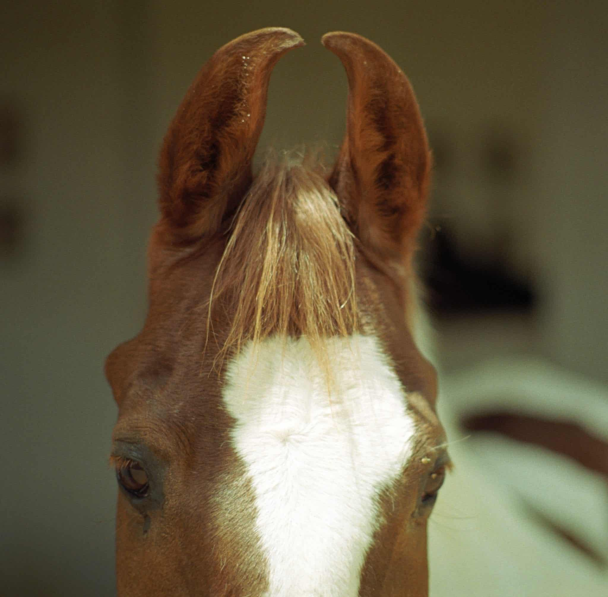 Meet The Marwari Horse A Rare Breed Known For Their Curly Ears