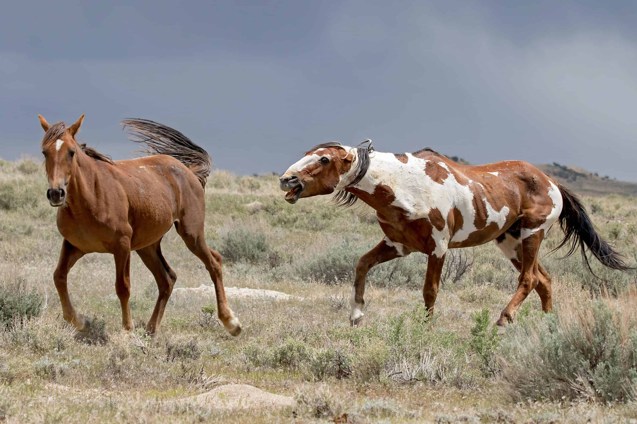 Meet Picasso The Most Famous Wild Mustang In America