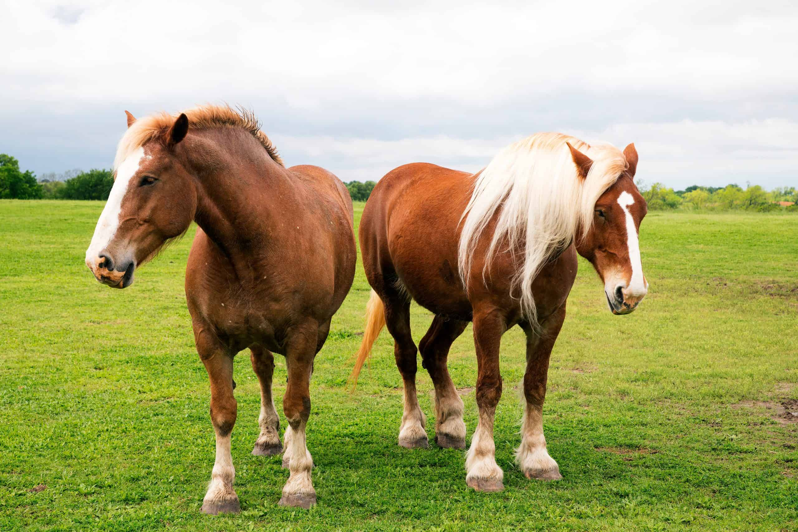 5 Of The Biggest Horse Breeds In The World