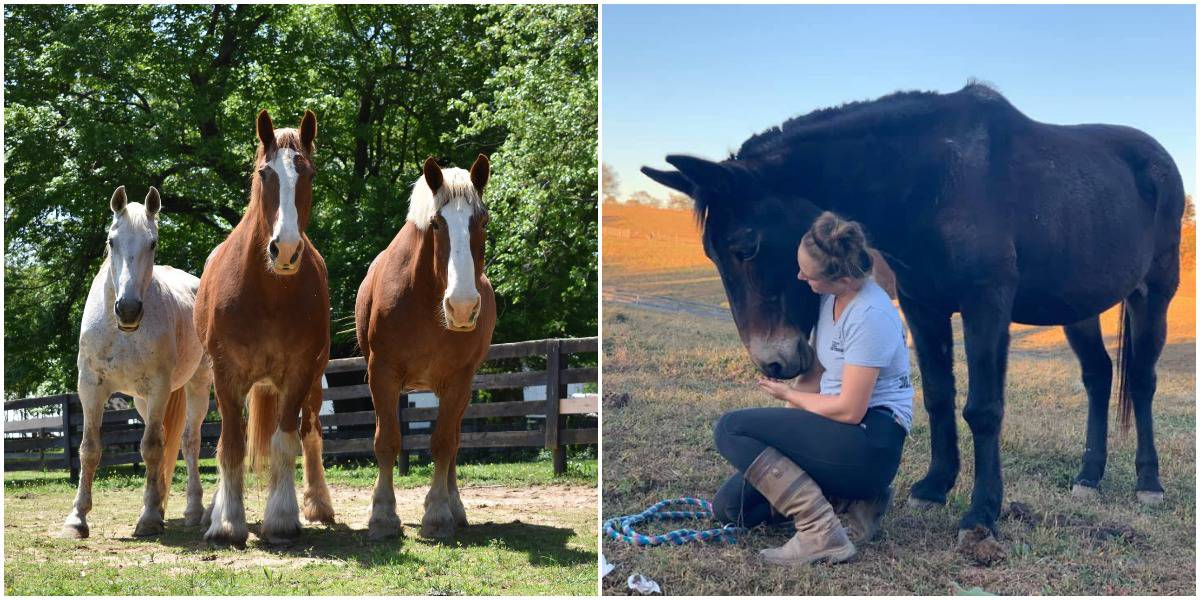 Gentle Giants Draft Horse Rescue Gives Equines Bound For Slaughter A Chance At A Happy Life