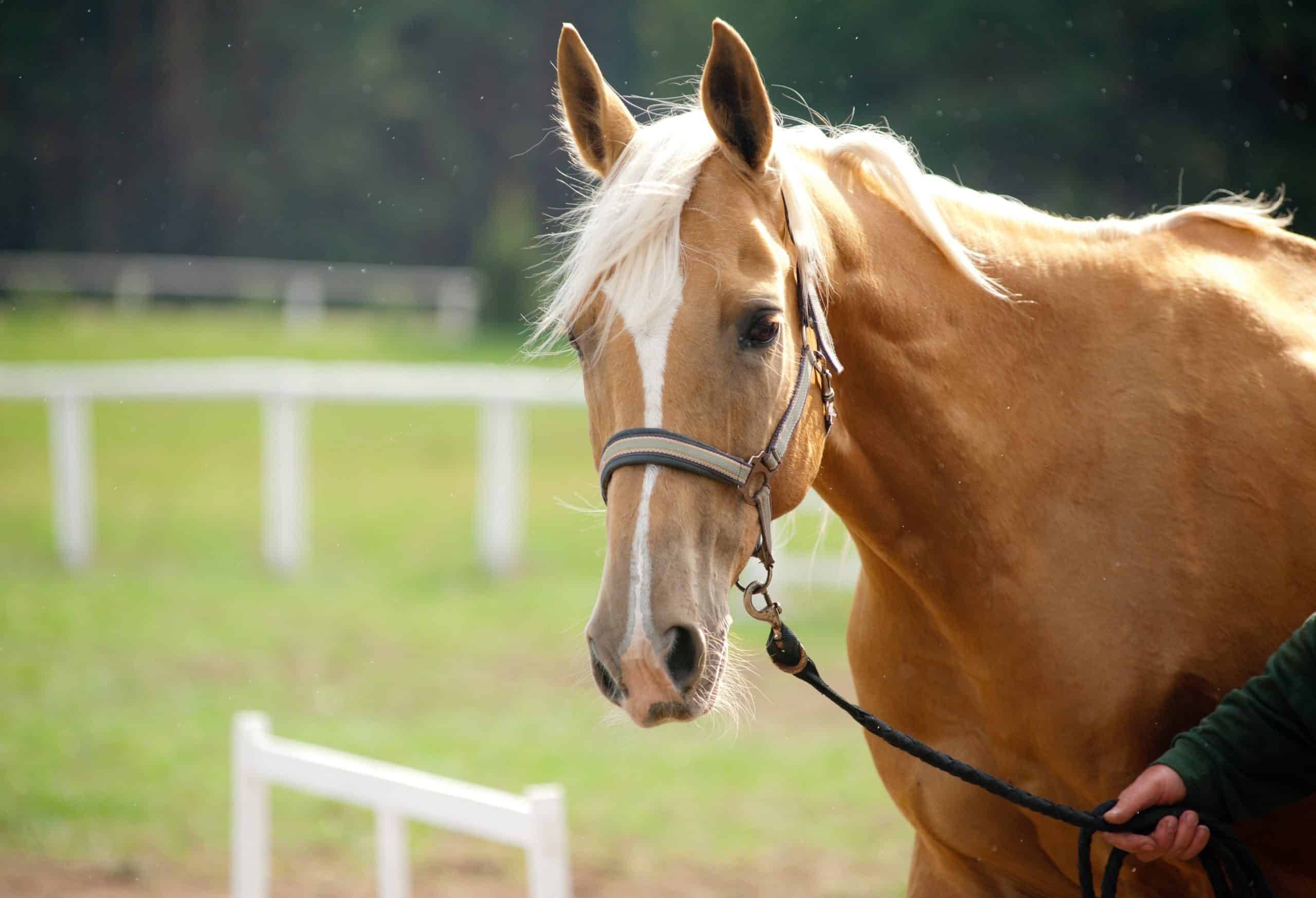 11 Interesting Facts About Palomino Horses