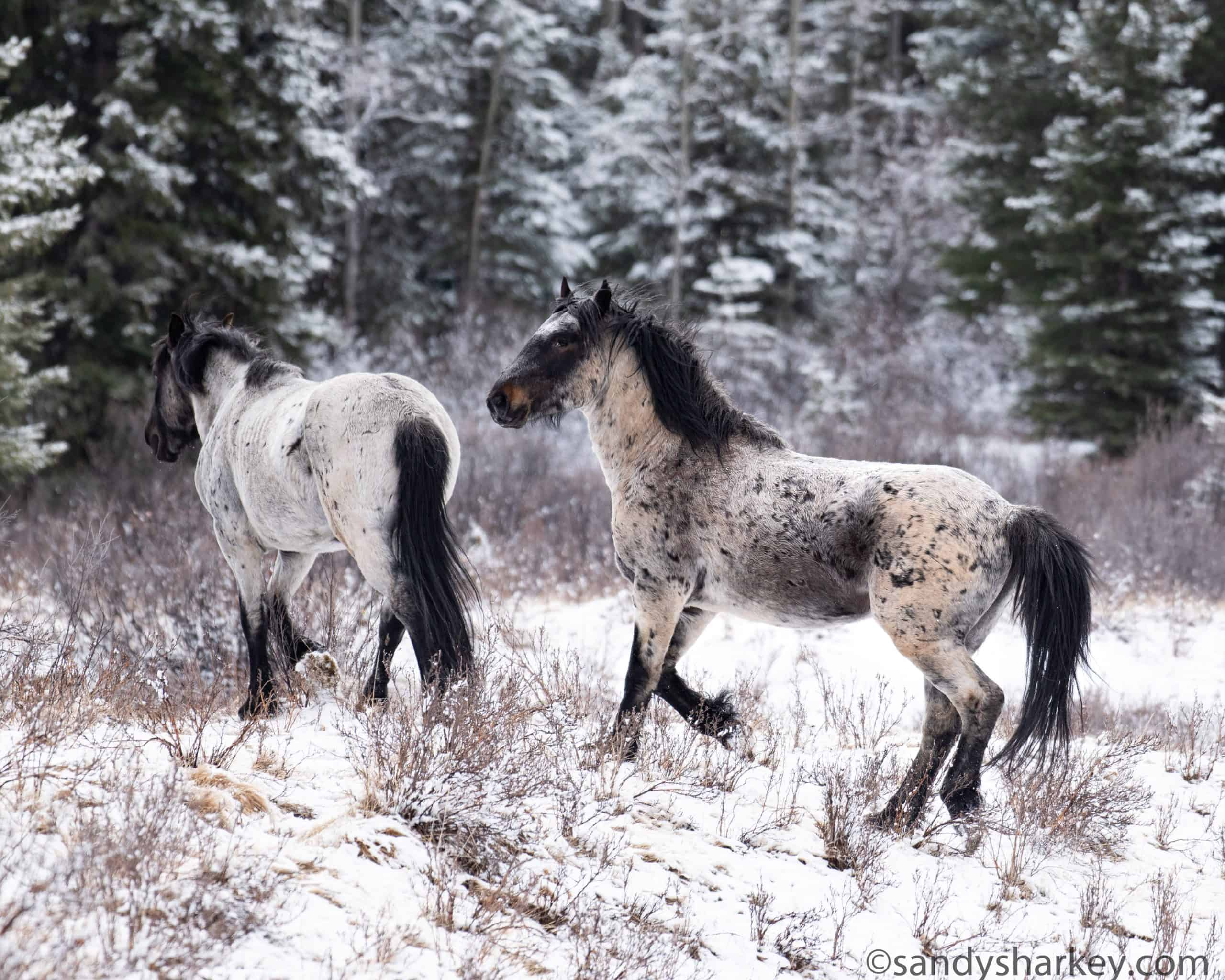 Canada Wild A Look At Canada S Beautiful Wild Horses