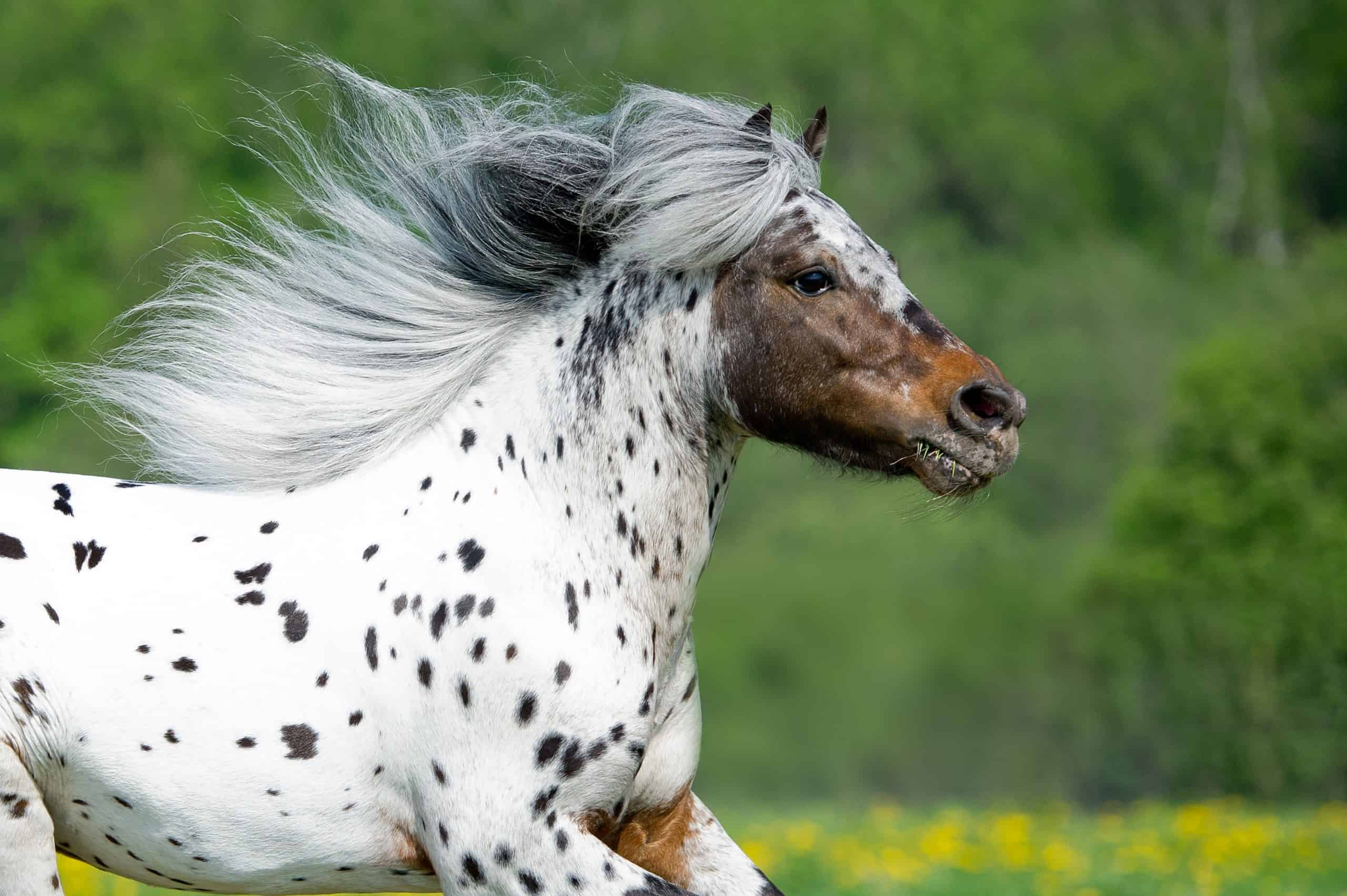 20 Gorgeous Images Of Appaloosa Horses To Make Your Day