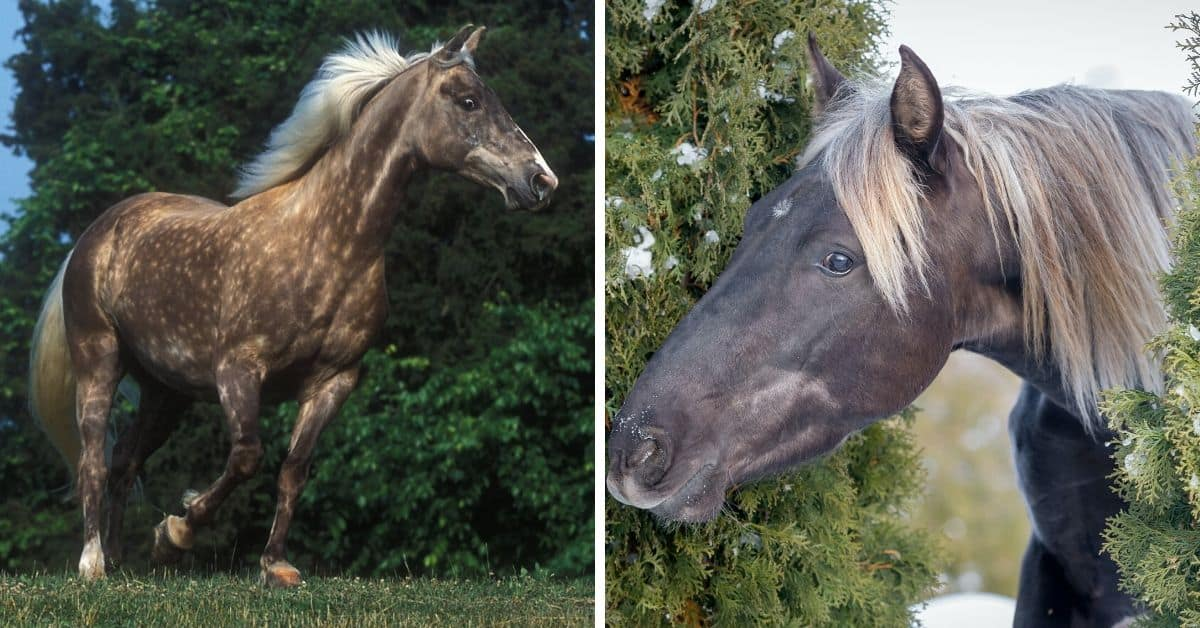 Equine 411 All About The Rocky Mountain Horse