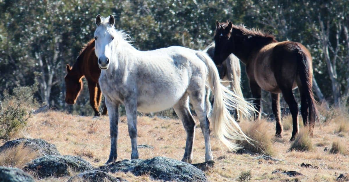 All About The Brumby Australia S Controversial Feral Horse