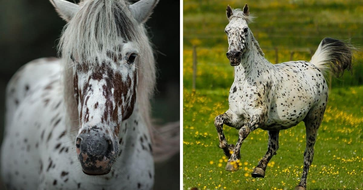 7 Horse Breeds With Spotted Coats