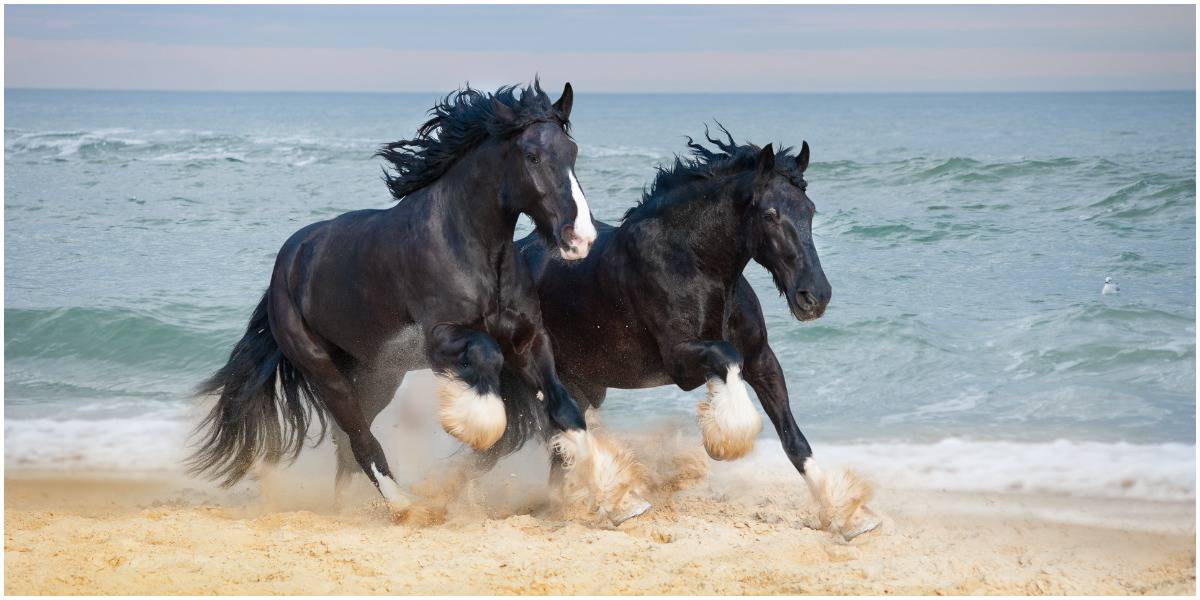 Equine 411 All About The Shire Horse Breed